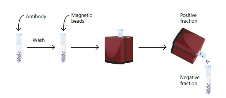 Schematic illustration of immunomagnetic cell separation process