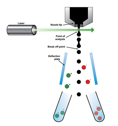 Schematic illustration of fluorescence-activated cell sorting