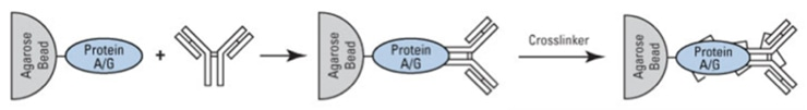 Cross-linking of Antibodies to Protein A and G Beads