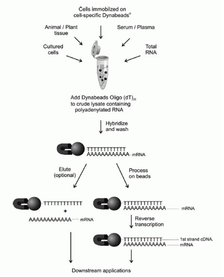 Schematic illustration of mRNA isolation using Absolute Mag™ Oligo(dT) magnetic particles
