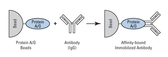 Schematic illustration of protein A/G/L-mediated antibody conjugation