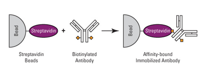 Schematic illustration of streptavidin-biotin interaction-mediated antibody conjugation