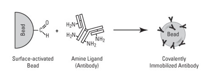 Schematic illustration of antibody covalent conjugation