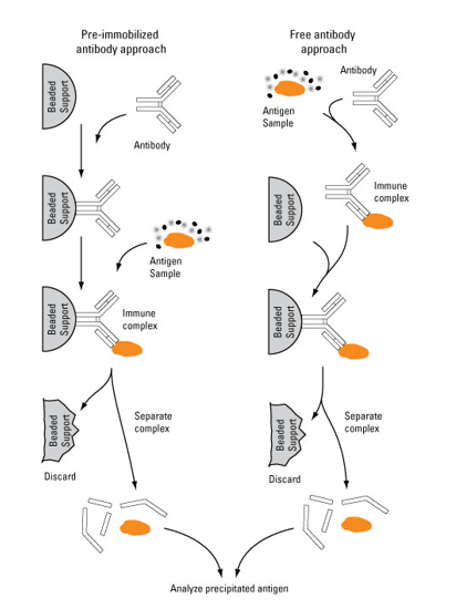 Schematic illustration of immunoprecipitation
