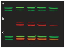 Multiplex western blot labelled by QDs